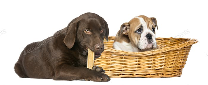 English Bulldog in a wicker basket and Labrador Retriever chewing a dog bone, isolated on white