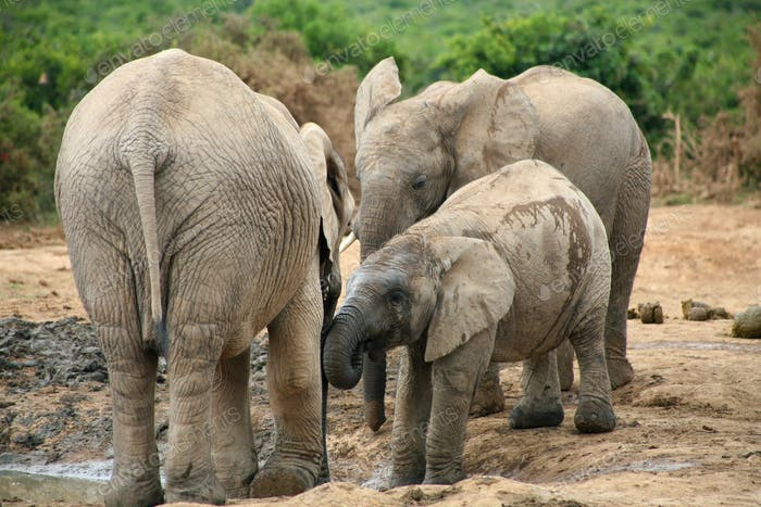Elephants in Addo Park
