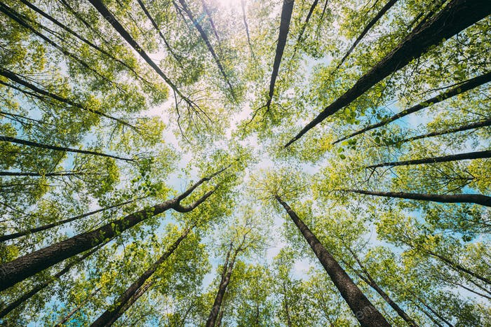 Looking Up In Beautiful Pine Deciduous Forest Trees Woods Canopy. Bottom View Wide Angle Background