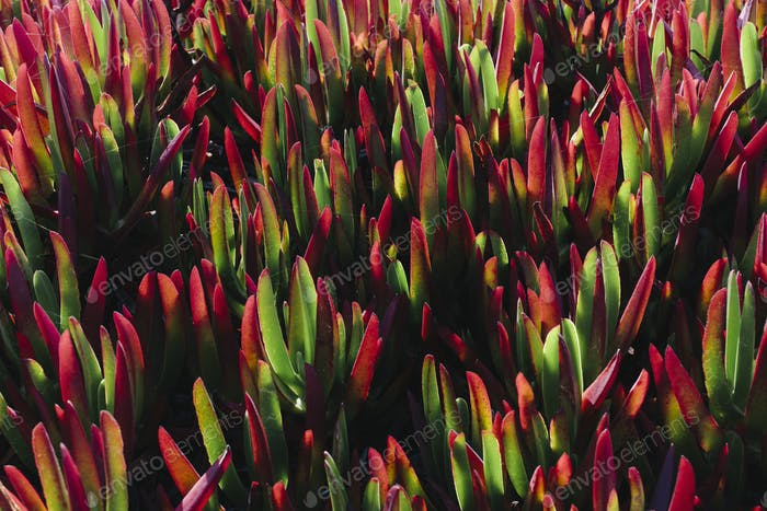 Iceplant, Carpobrotus edulis,an introduced plant as an erosion stabilization measure used in the