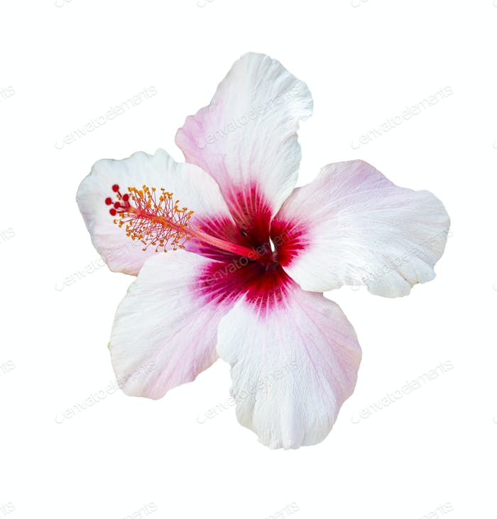 Hibiscus Flower over White Background