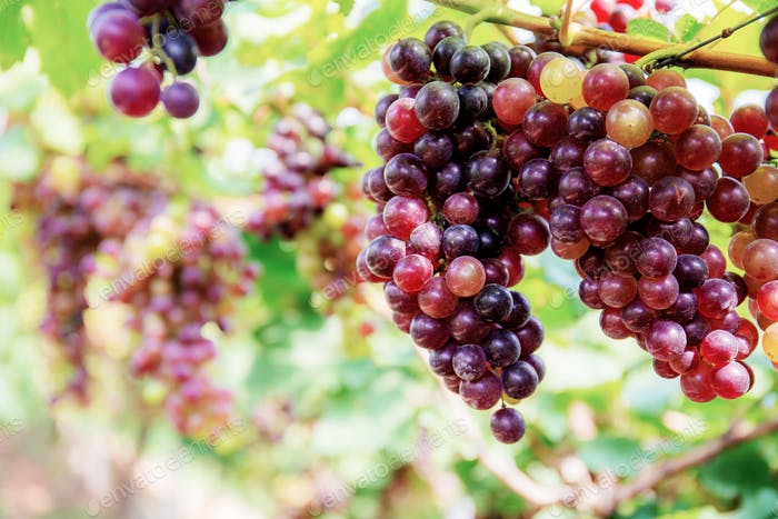 Red grapes on tree with background