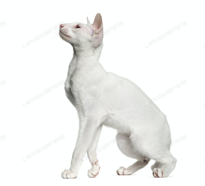 Oriental Shorthair looking up, isolated on white  (6 months old)