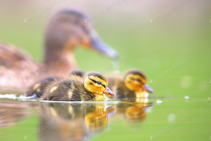 Familie von Stockenten mit kleinen Entenküken, die im Frühling auf dem Wasser schwimmen