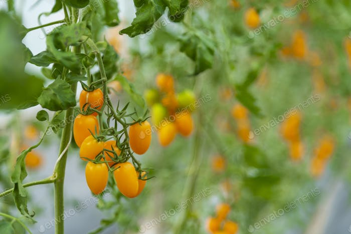 Tomatoes grown in the house of modern agricultural technology systems
