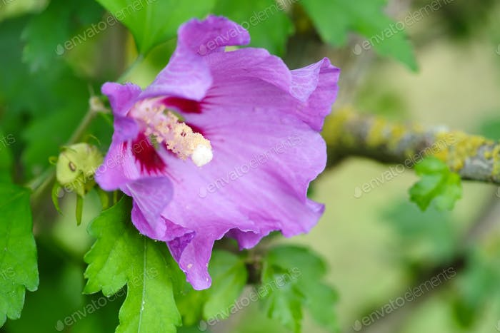 The close-up purple hibiscus flower