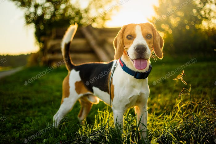 Dog portrait back lit background. Beagle with tongue out in grass during sunset in fields