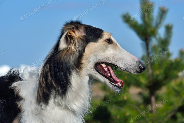 Portrait of russian wolfhound