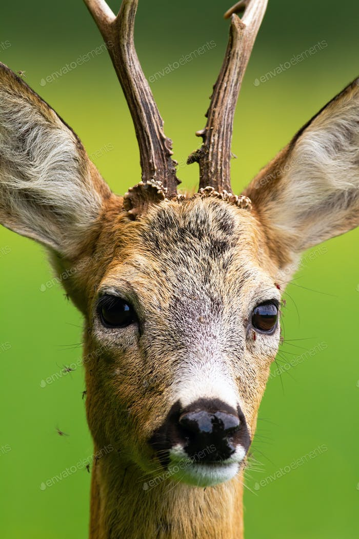 Flock of mosquitoes stinging roe deer buck in nature in summer