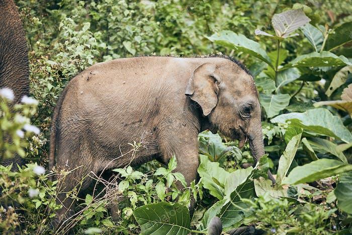 Elefante de vida silvestre en Sri Lanka