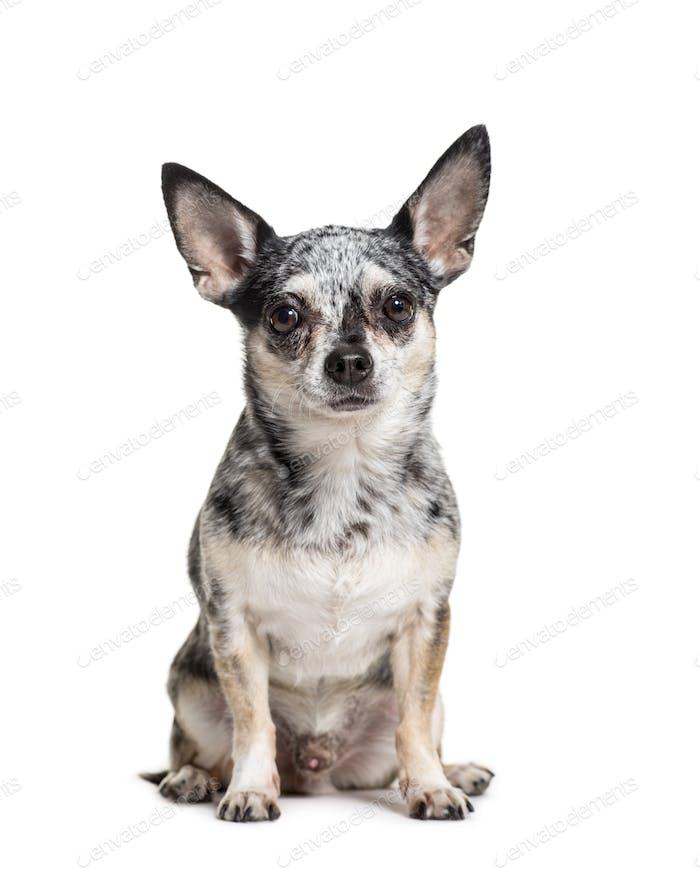 Sitzender Chihuahua Hund, isoliert auf weiß