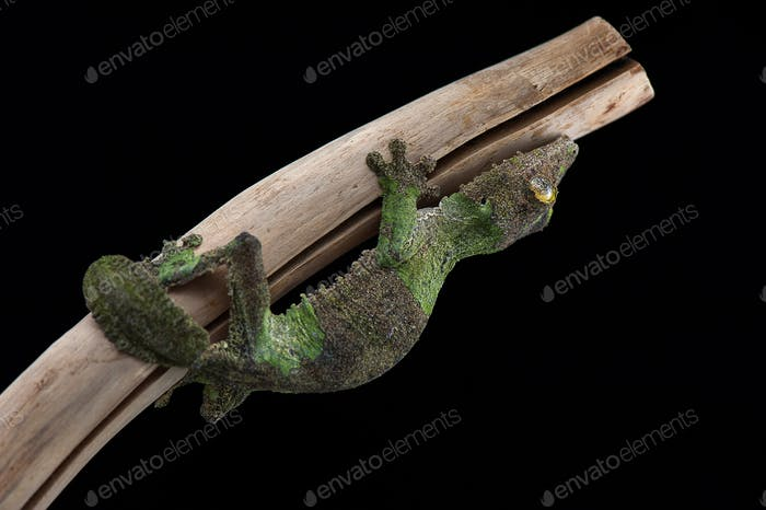 Leaf Tailed Gecko isolated on black background