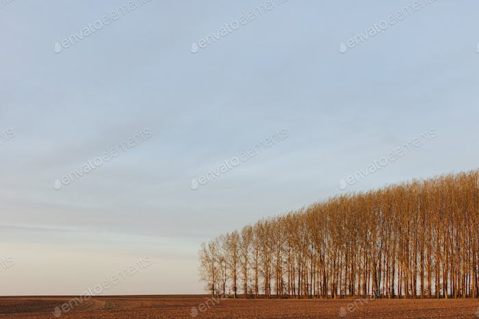 Stand of commercially grown poplar trees