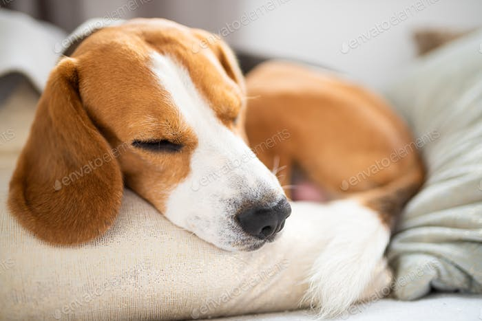 Cute Beagle dog relaxing on the sofa on cushions