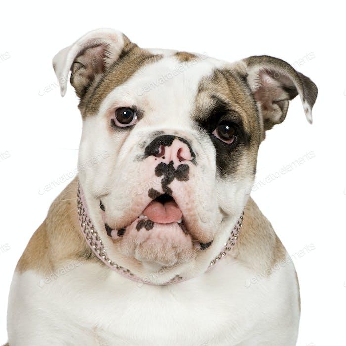 French Bulldog (5 months)