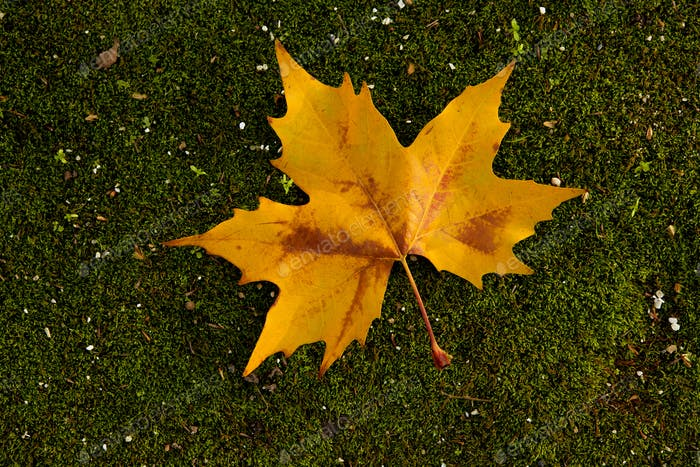 Close-up of a beautiful autumn leaf on the ground covered of mos