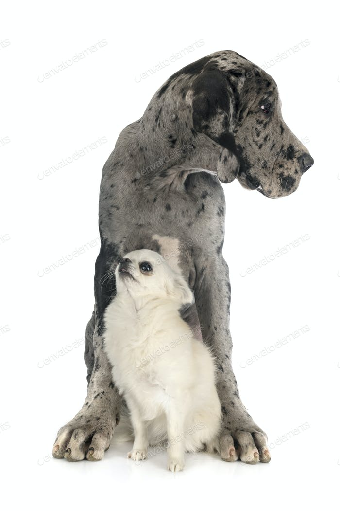 puppy great dane and chihuahua