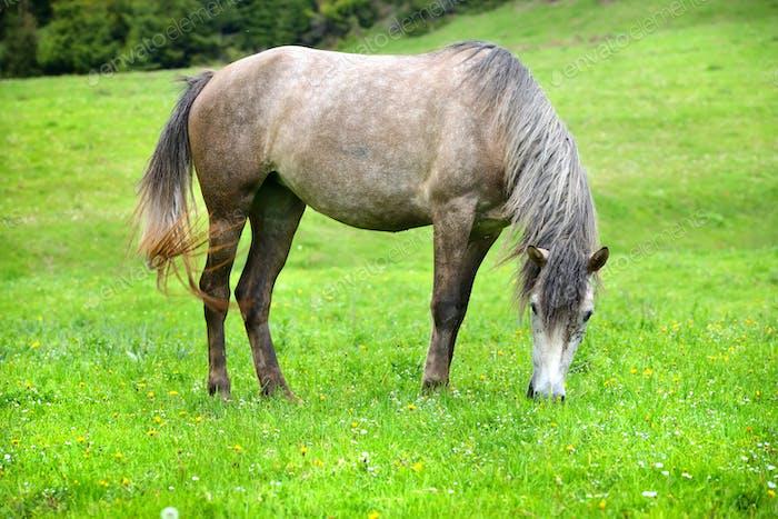 Graues Pferd weiden auf der Sommerweide
