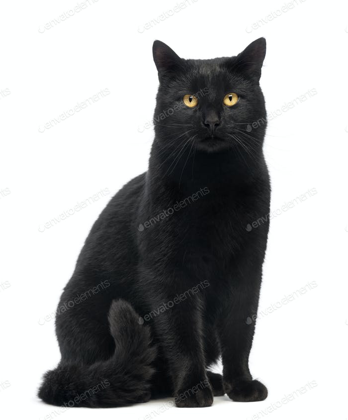 Black Cat sitting and looking at the camera, isolated on white