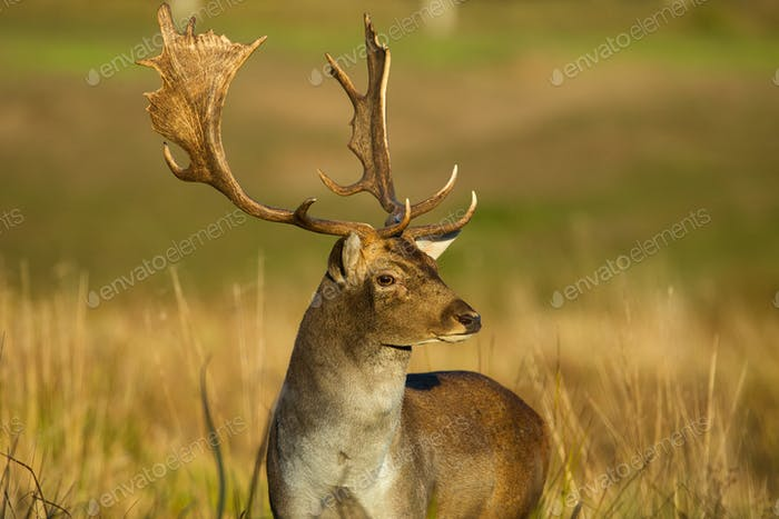 Portrait of male Fallow deer (Dama dama) in autumn