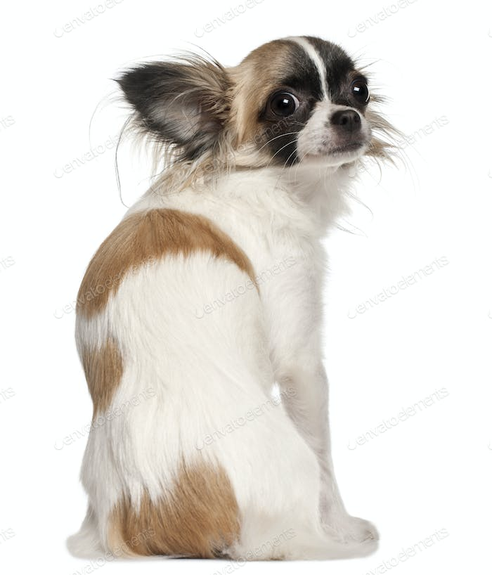 Chihuahua, 10 months old, sitting in front of white background