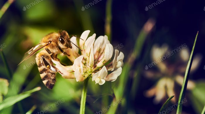 Honey bee collecting pollen from white flower on meadow in spring season