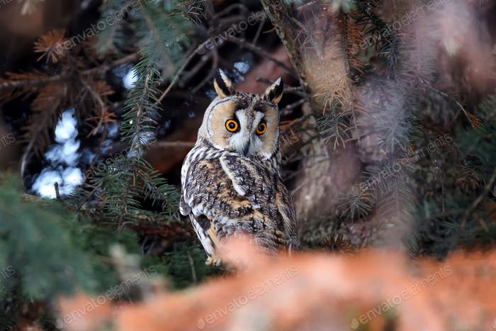 A Long-eared Owl (Asio otus) sitting on a tree