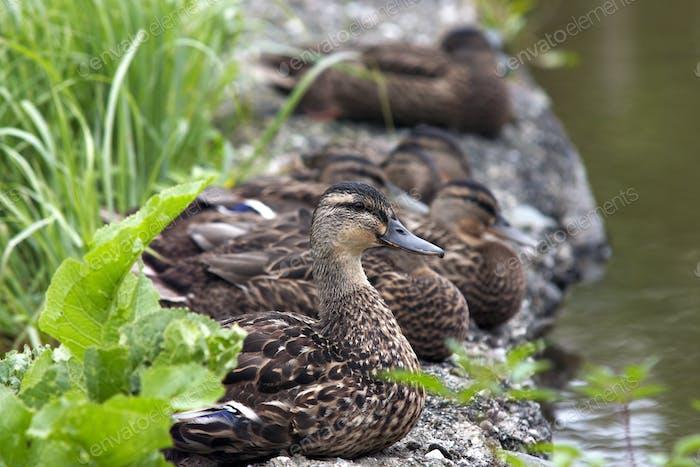 Flock of ducks on the shore