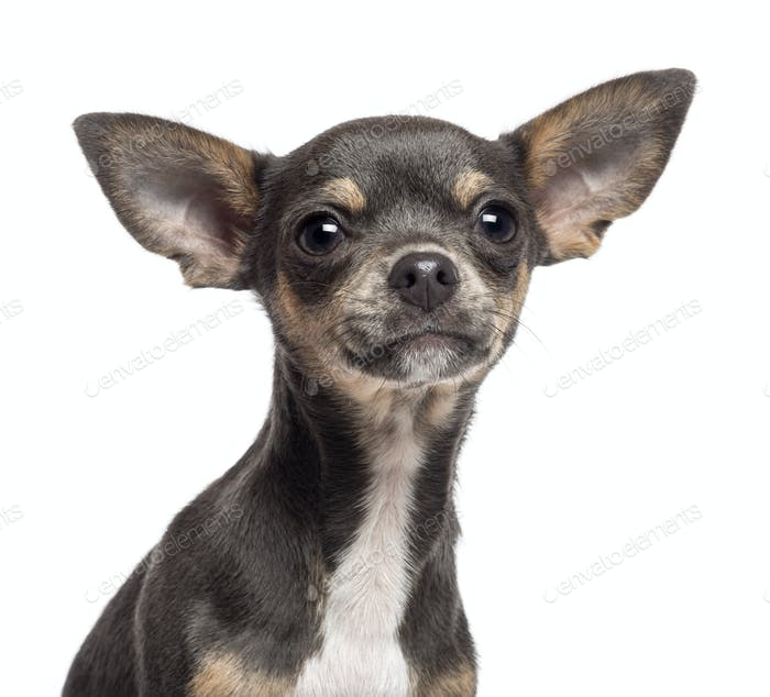 Chihuahua puppy, 4 months old, looking at camera against white background