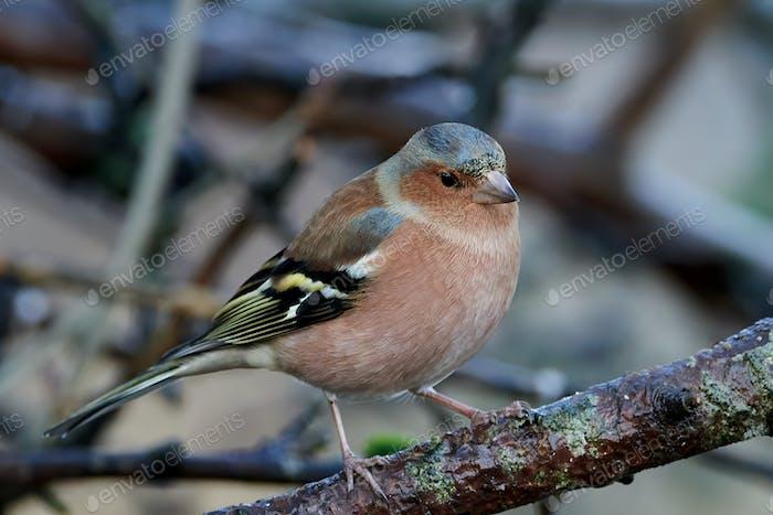 Schaffinchen (Fringilla coelebs)