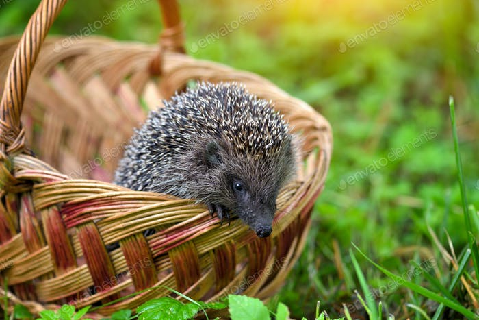 Hedgehog (Erinaceus Europaeus) in a basket on green grass