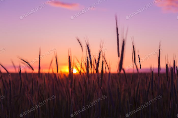 Silhouettes Of Ripe Wheat Against The Background Of Scenic Count