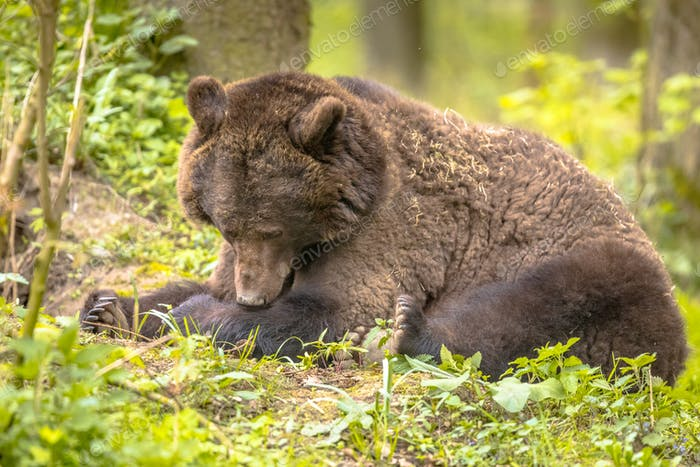 European brown bear resting in forest habitat
