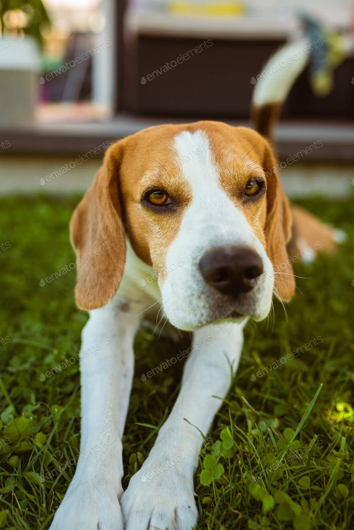 Purebred beagle dog lying and stretch his legs on grass