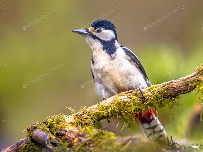 Agitated Great spotted woodpecker