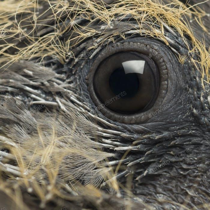 Young Common Wood Pigeon, Columba palumbus, close up on eye
