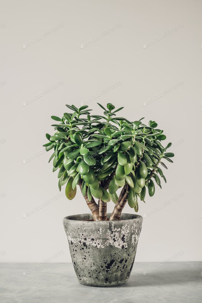 Houseplant Crassula ovata jade plant money tree opposite the wall