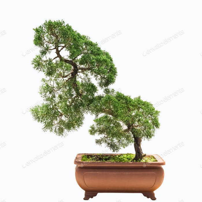 bonsai tree of chinese juniper