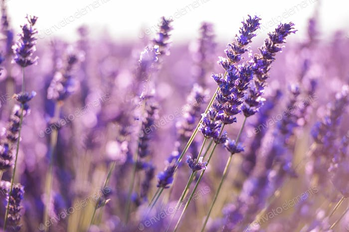 closeup purple lavender field