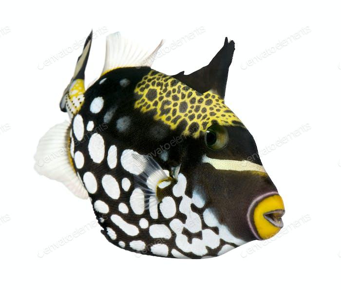 Clown triggerfish (fish) - Balistoides conspicillum