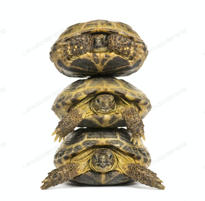 Three turtles one above the other, isolated on white