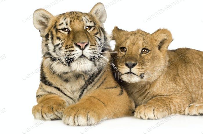 Lion Cub (5 months) and tiger cub (5 months)