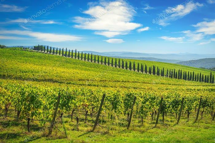 Chianti vineyard panorama and cypresses row. Castelnuovo Berardenga, Siena, Tuscany, Italy