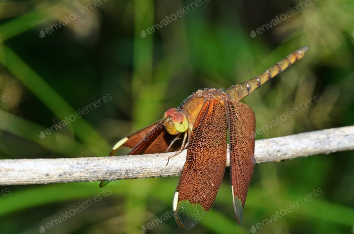 Neurothemis fulvia female