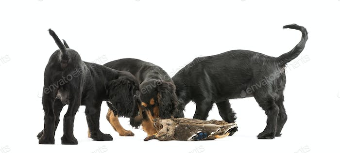 Working Cocker Spaniel puppies sniffing dead duck against white background