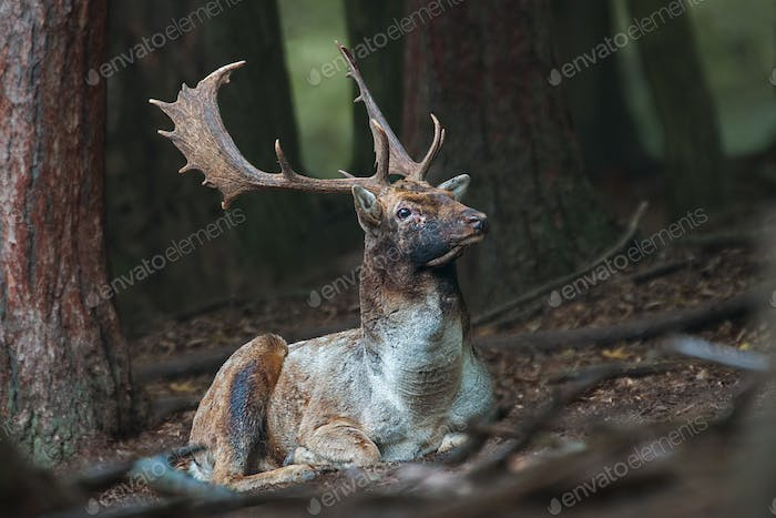 Fallow deer stag lying on the ground in dark forrest with head up high