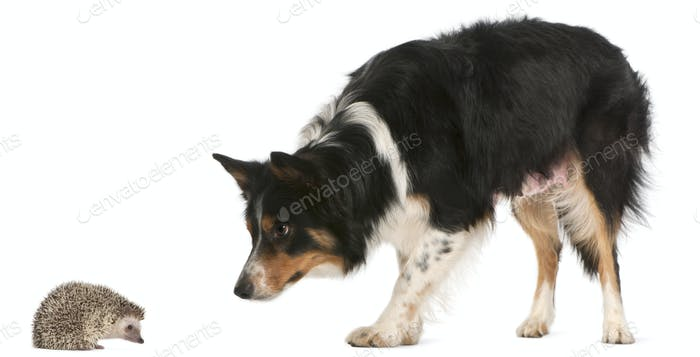 Female Border Collie, 3 years old, playing with hedgehog, 6 months old, in front of white background