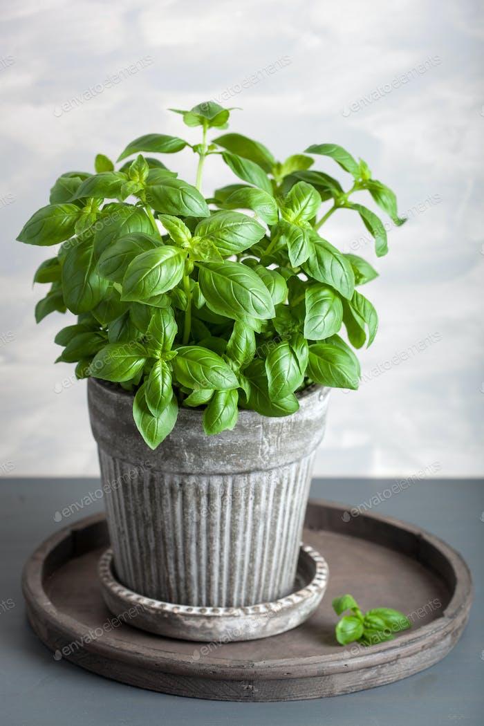 fresh basil herb in pot