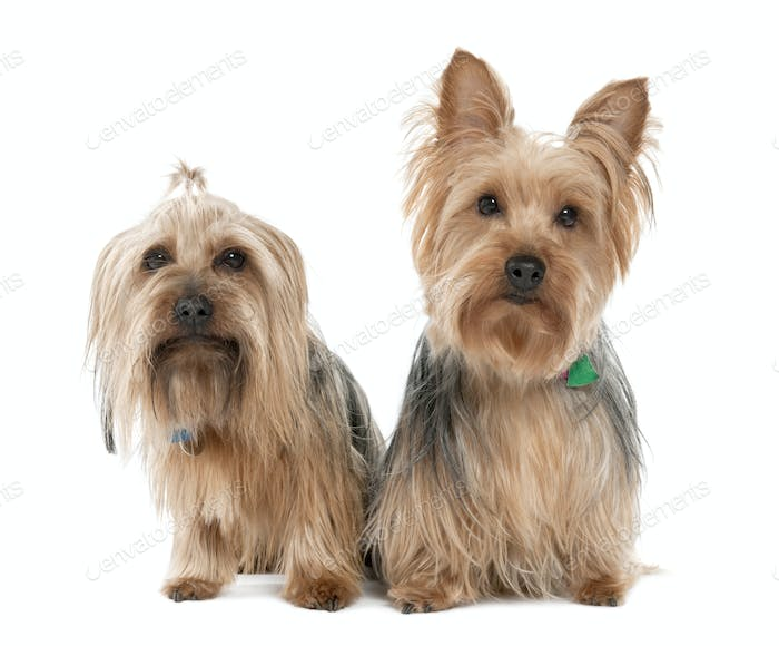 Couple of Yorkshire Terrier (2 years and 5 years old)