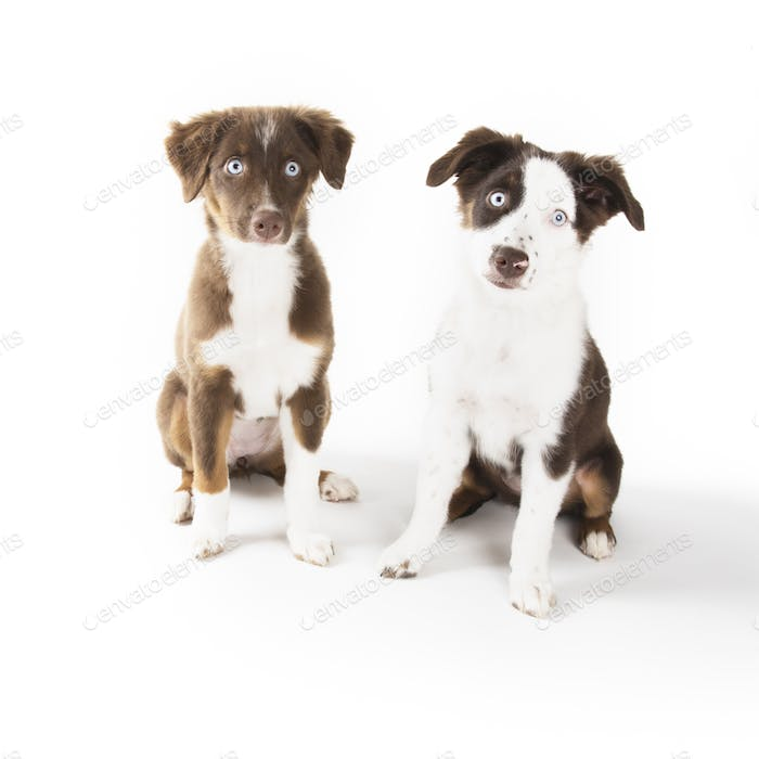 Very Cute Puppies Isolated on White